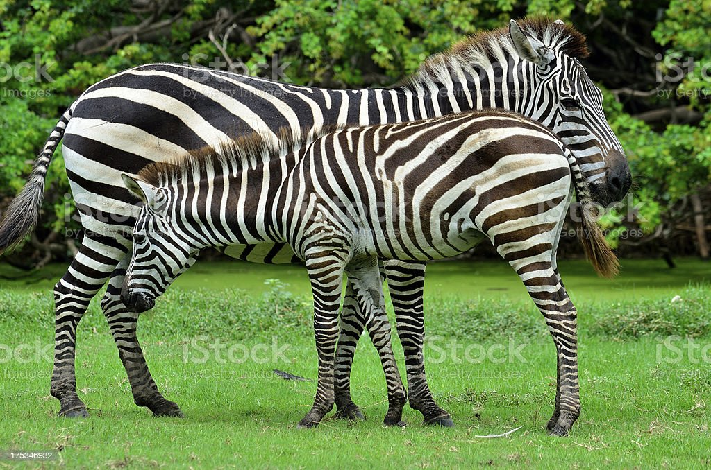 Zeabra Mother and Foal in the nice moment royalty-free stock photo