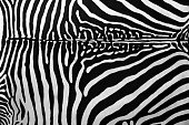 Zebra actual skin in black and white abstract background
