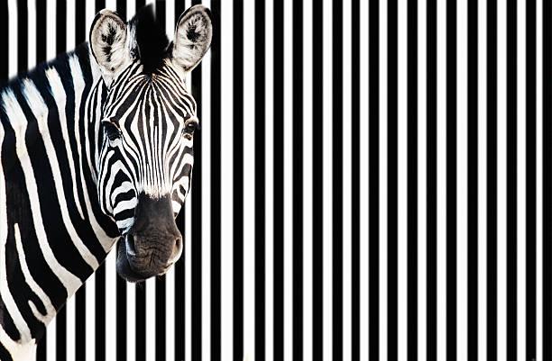 Zebra against background of black and white stripes stock photo