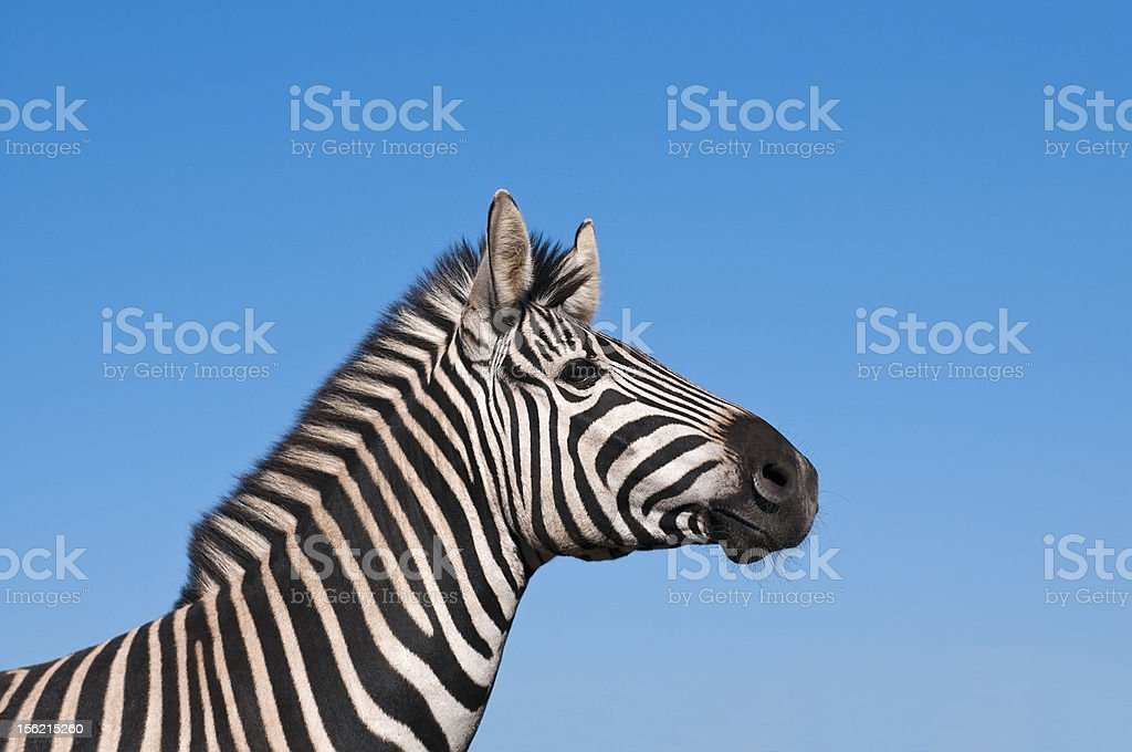 Zebra against blue sky royalty-free stock photo