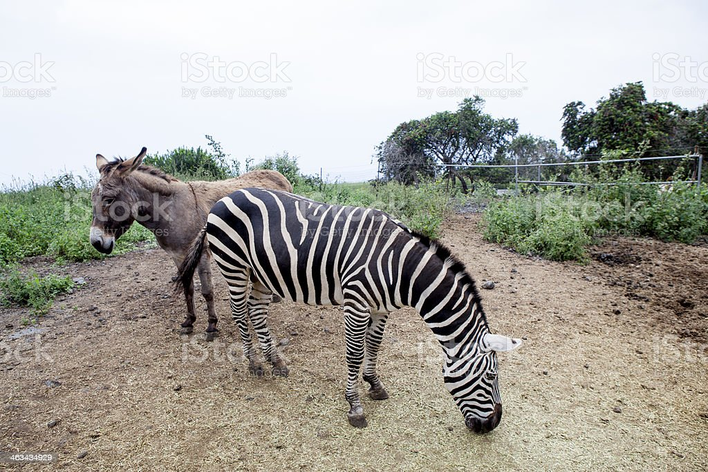 Zebra and a donkey grazing royalty-free stock photo