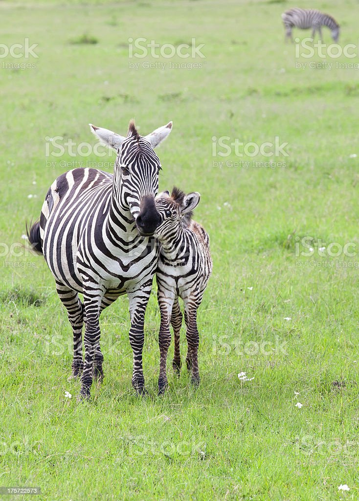 Zebra and baby: Love royalty-free stock photo