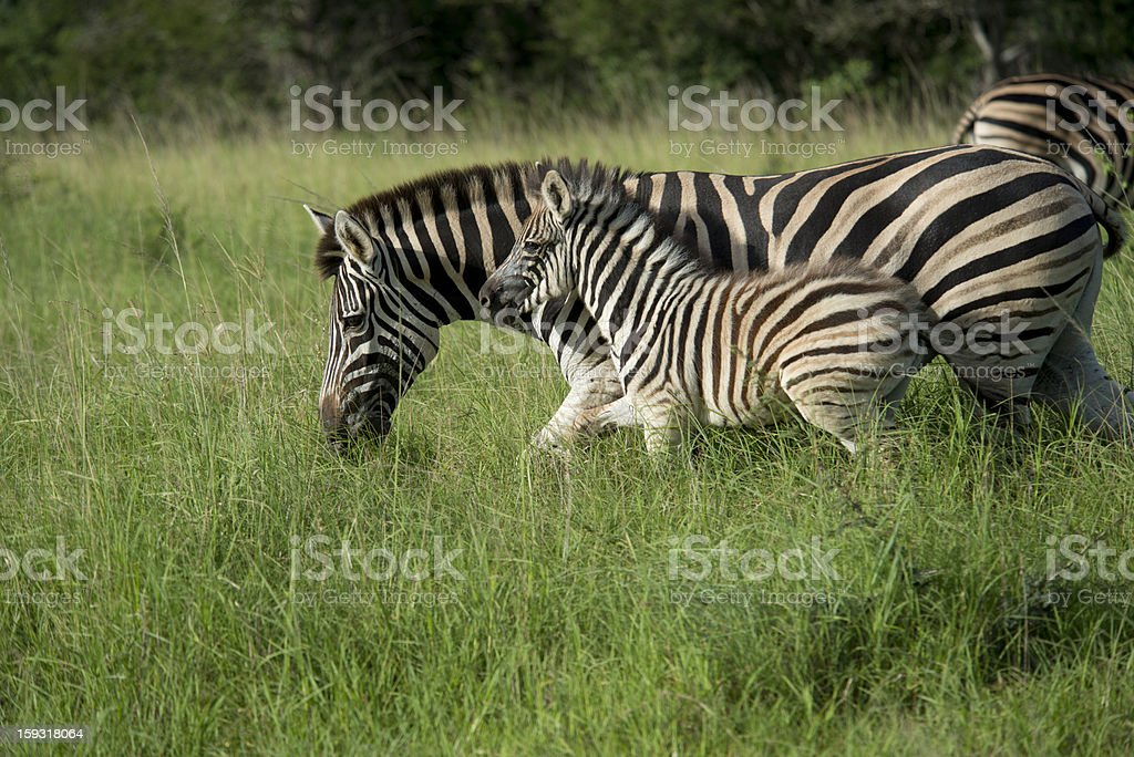 Zebra and Baby royalty-free stock photo
