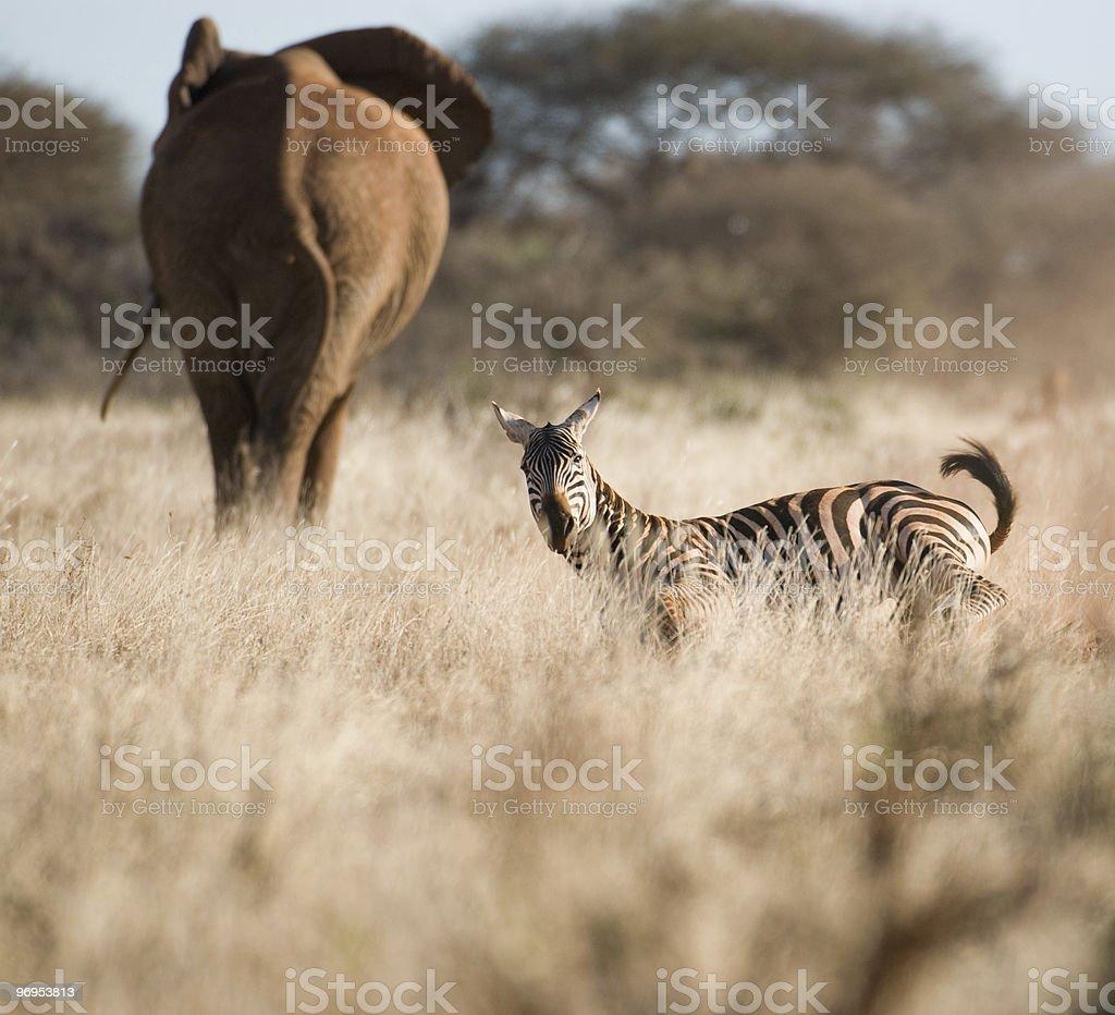 Zebra (Equus quagga) and Elephant (Loxodonta africana), Tsavo, Kenya. royalty-free stock photo