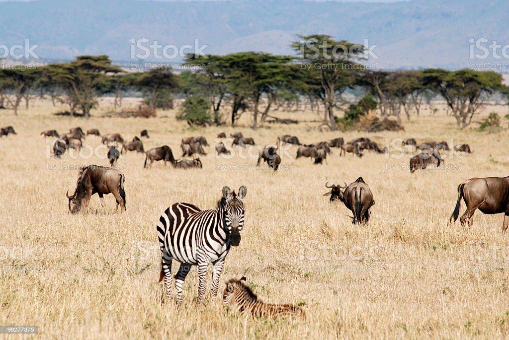 Zebra와 망아지 중간 영양 가축떼 royalty-free 스톡 사진