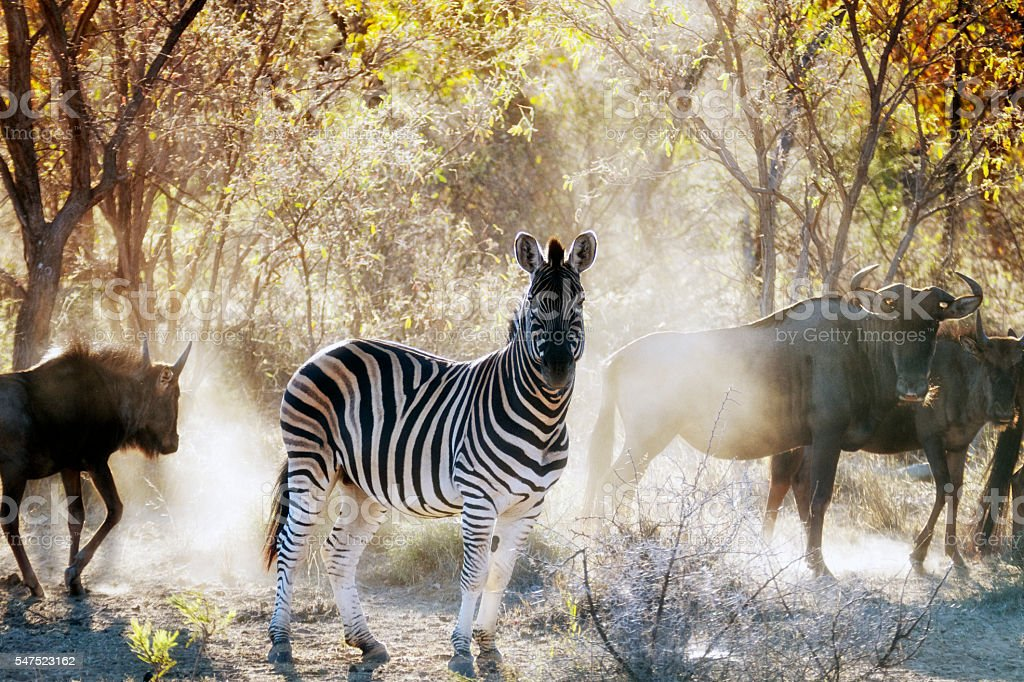 Zebra and wildebeest in the Waterberg area,Limpopo,South Africa stock photo