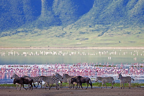 Zebra and wildebeest next to lake in the Ngorongoro Crater Zebras and wildebeests in the Ngorongoro Crater, Tanzania ngorongoro conservation area stock pictures, royalty-free photos & images