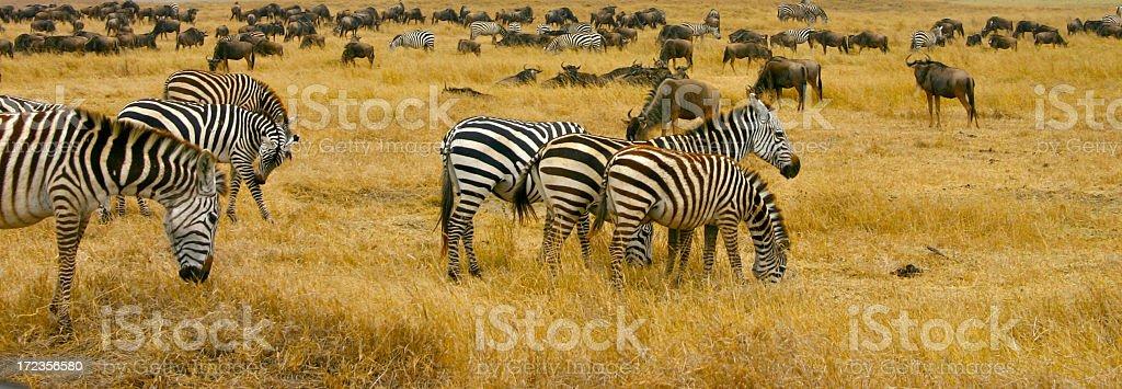 Cebra y ñu foto de stock libre de derechos