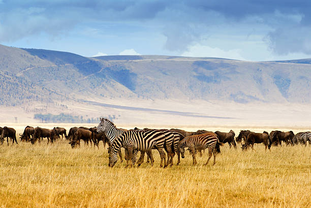 Zebra and wildebeest Wildebeest and zebra grazing in the Ngorongoro Crater in Tanzania. ngorongoro conservation area stock pictures, royalty-free photos & images