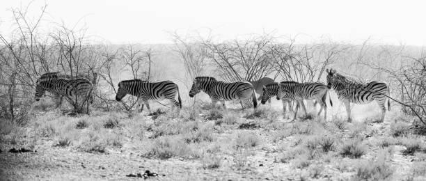 Zebra at a waterhole stock photo