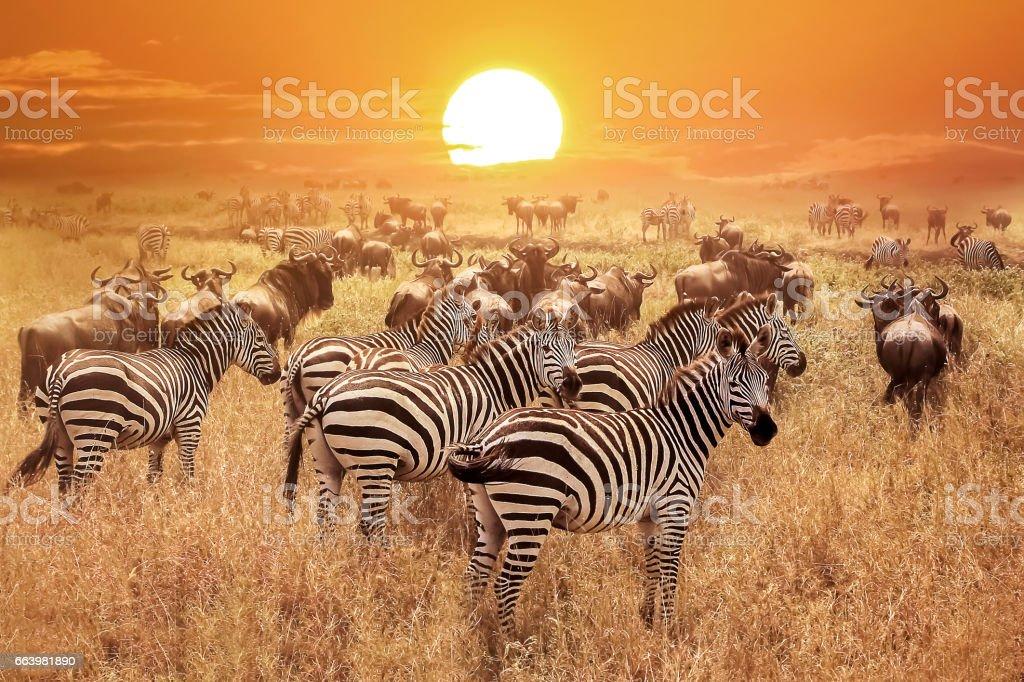 Zebra at sunset in the Serengeti National Park. Africa. Tanzania. - 免版稅一群動物圖庫照片