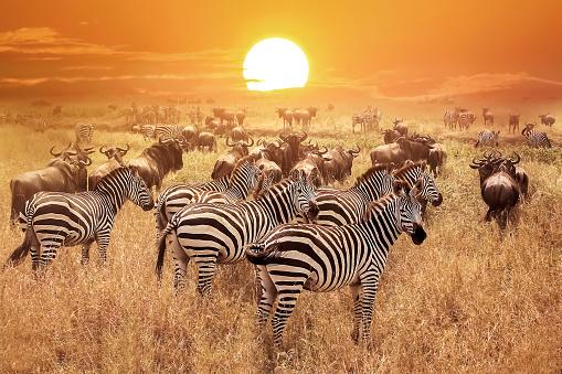 Zebra At Sunset In The Serengeti National Park Africa Tanzania 照片檔及更多 一群動物 照片