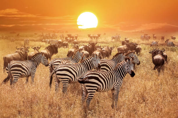 zebra at sunset in the serengeti national park. africa. tanzania. - safari stock photos and pictures
