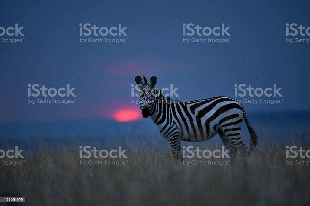 Zebra at sunset stock photo