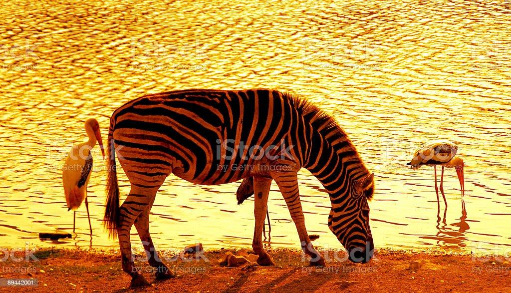 Zebra at sunset royalty-free stock photo