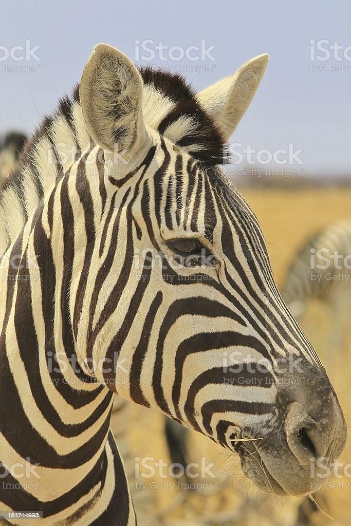 Zebra - Beautiful Wildlife Background from the Animal Kingdom royalty-free stock photo