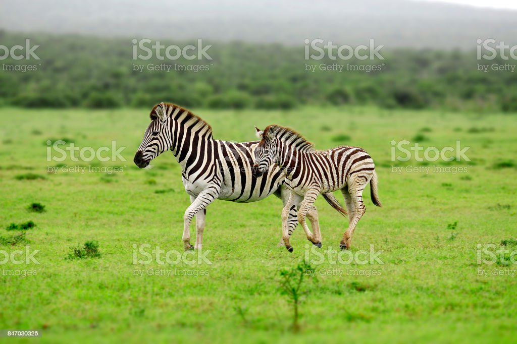Zebra Burchell's African wildlife nature safari animals wilderness baby stripes stock photo