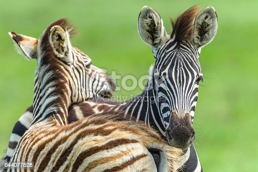 Zebra Calf's young newborn animals necking affections in wildlife safari park