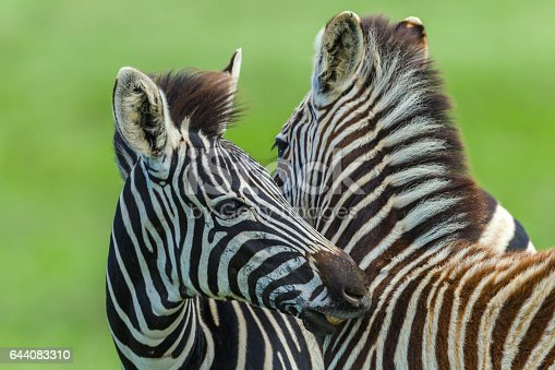 Zebra Calf's  animals necking affections in wildlife safari park