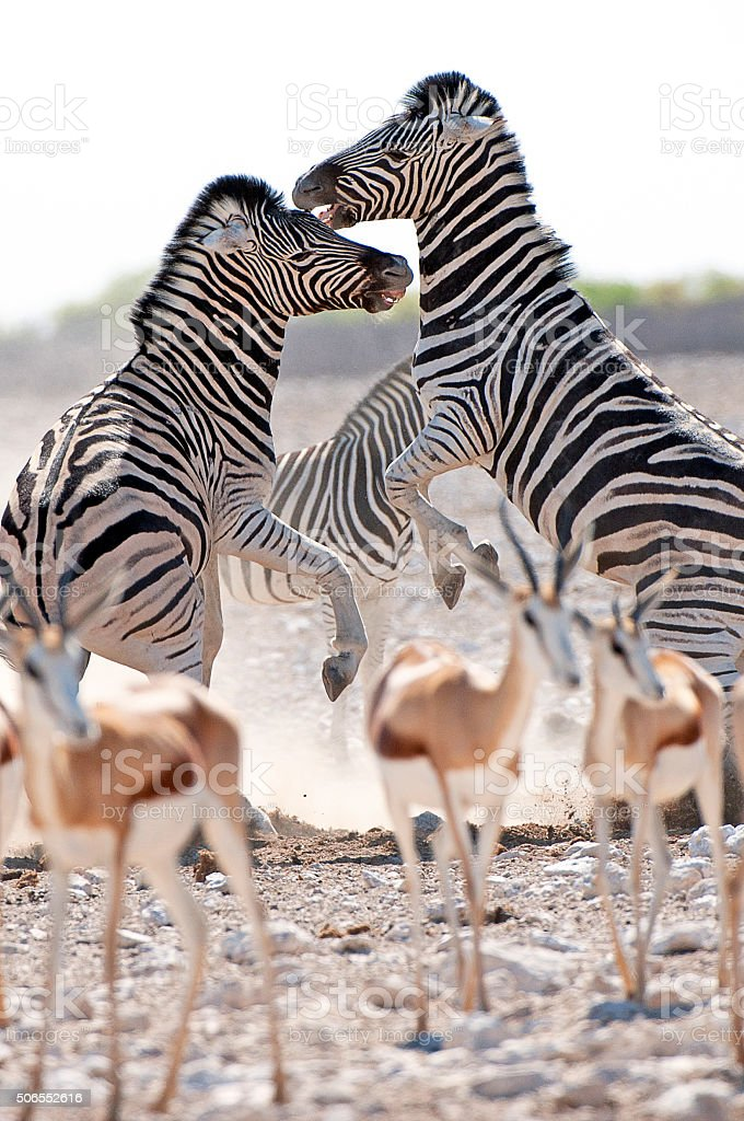Zebra chalenge, Etosha National Park, Namibia, Africa stock photo