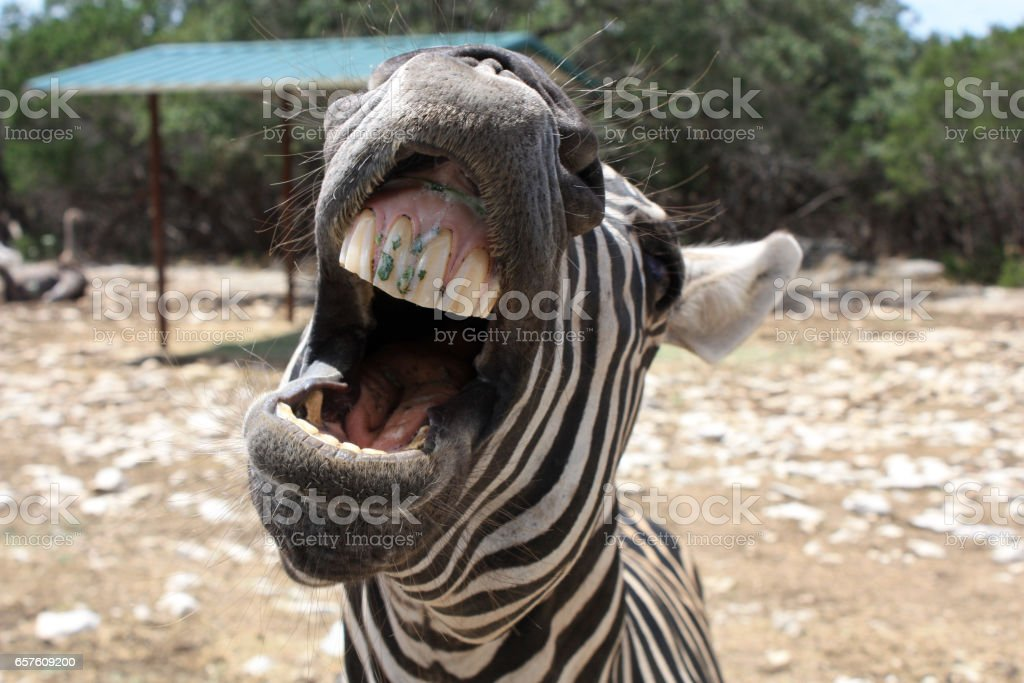 Zebra Close-Up, Central Texas stock photo