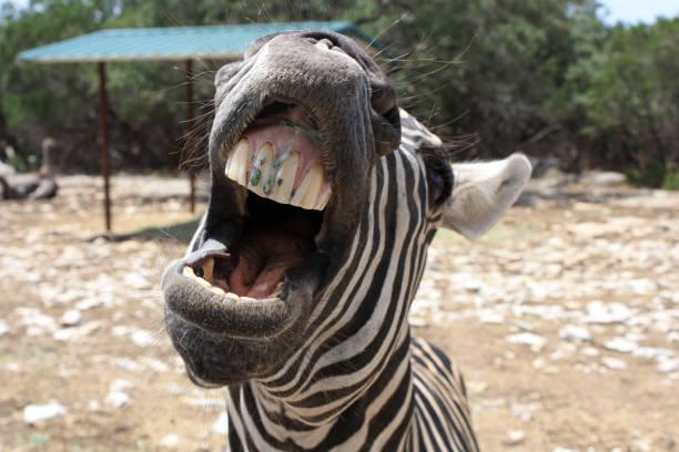 zebra close-up, central texas - dents des animaux photos et images de collection