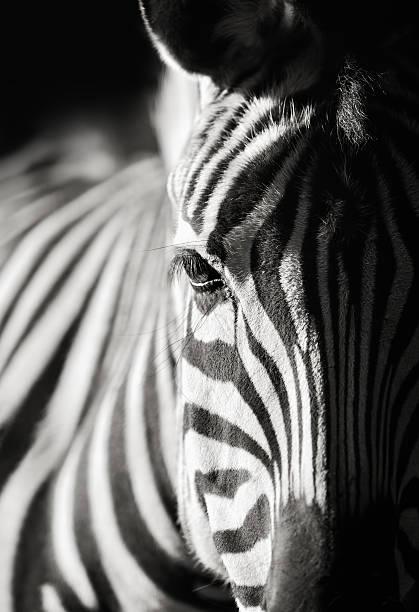 zebra close-up - zebra stock photos and pictures