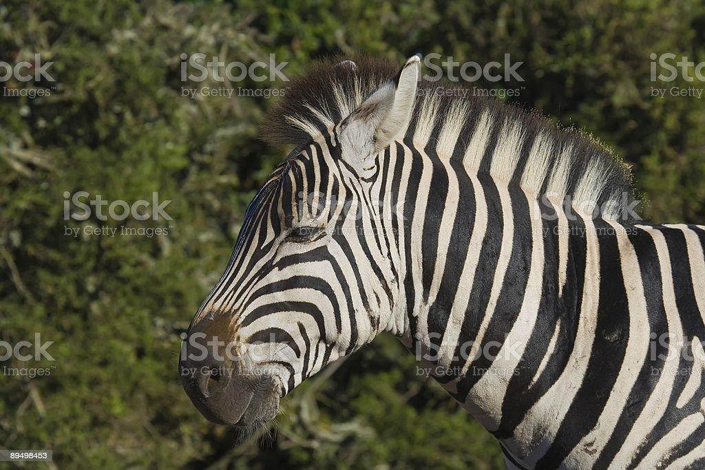 Traversata di Zebra foto stock royalty-free