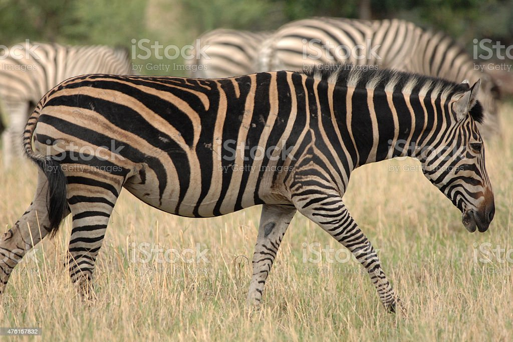 Zebra dark phenotype stock photo