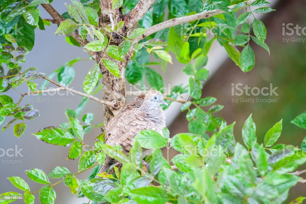 zebra dove bird on tree branch