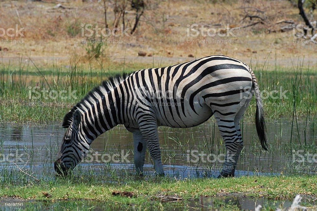 Zebra Drinking from Khwai River in Moremi stock photo