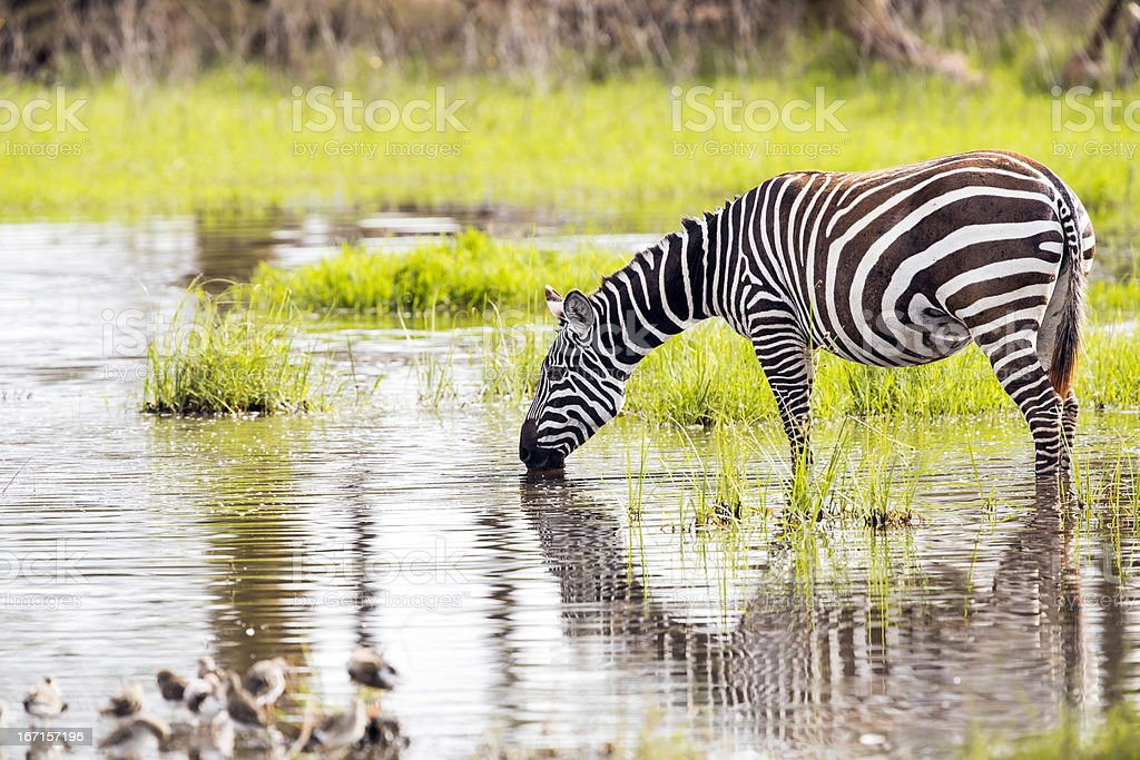 Zebra - drinking water with birds royalty-free stock photo