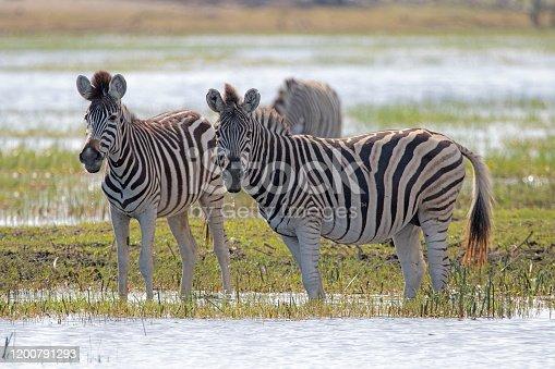 Steppenzebra (equus quagga) im Makgadikgadi Pans-Nationalpark, Botsuana, Afrika,