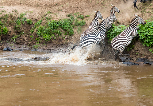 Three Zebras just manage to escape a crocodile attack. Taken in Masai Mara National Reserve, Kenya