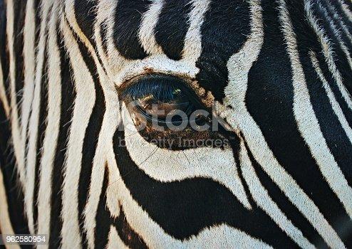 istock Zebra face 962580954