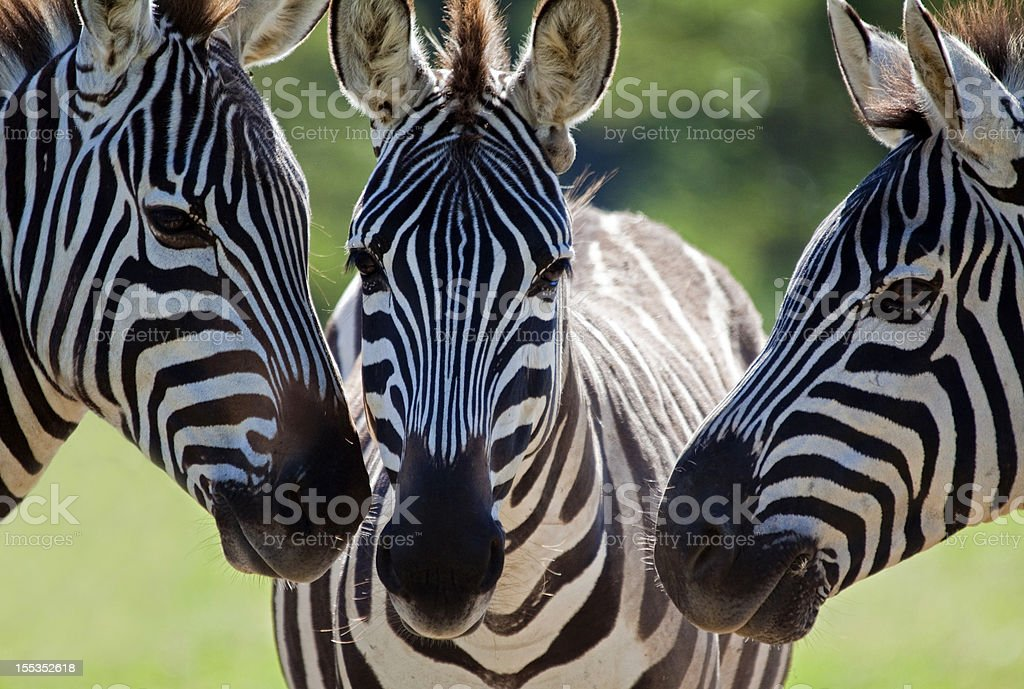 Zebra faces stock photo