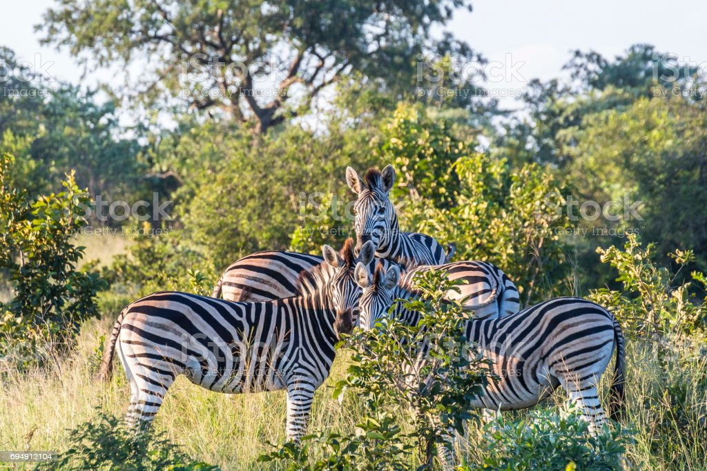 Zebra family in the evening inside Kruger National Park Zebra family in the evening inside Kruger National Park, South Africa Acacia Tree Stock Photo