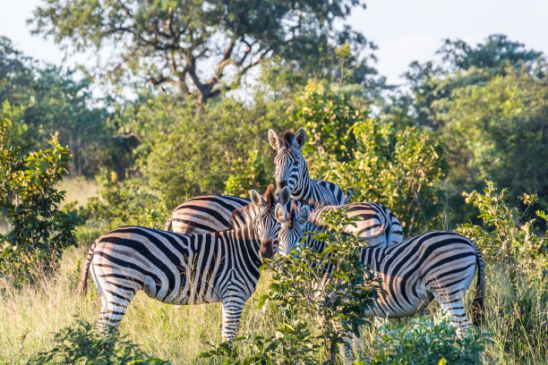Zebra family in the evening inside Kruger National Park Zebra family in the evening inside Kruger National Park, South Africa kruger national park stock pictures, royalty-free photos & images