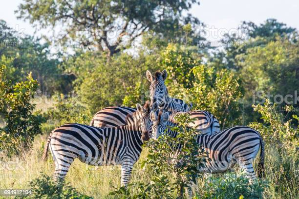 Zebra Family In The Evening Inside Kruger National Park Stock Photo - Download Image Now