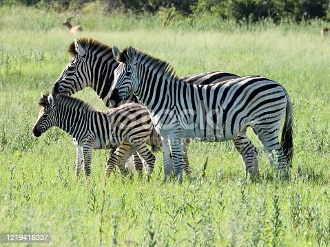 Adult male and female zebras with a juvenile zebra