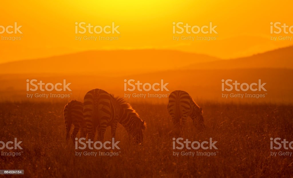Zebra feeding at sunrise royalty-free stock photo