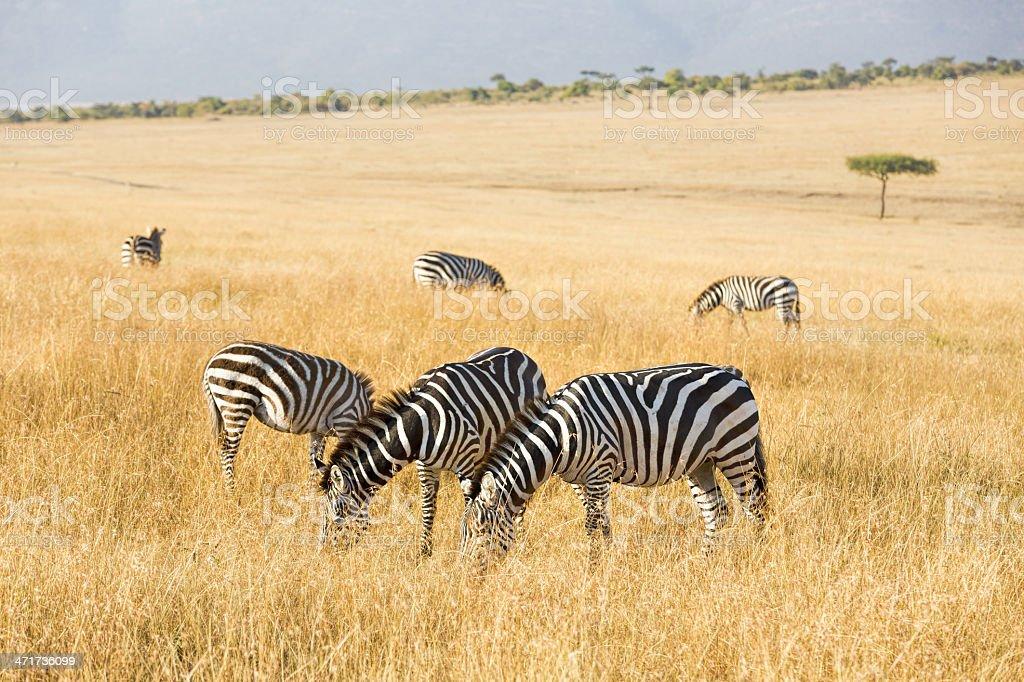Zebra - feeding royalty-free stock photo