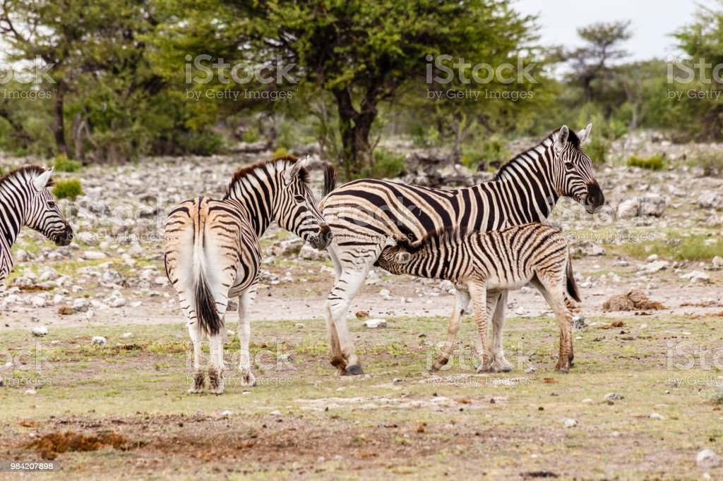 Zebra, females with foals stock photo
