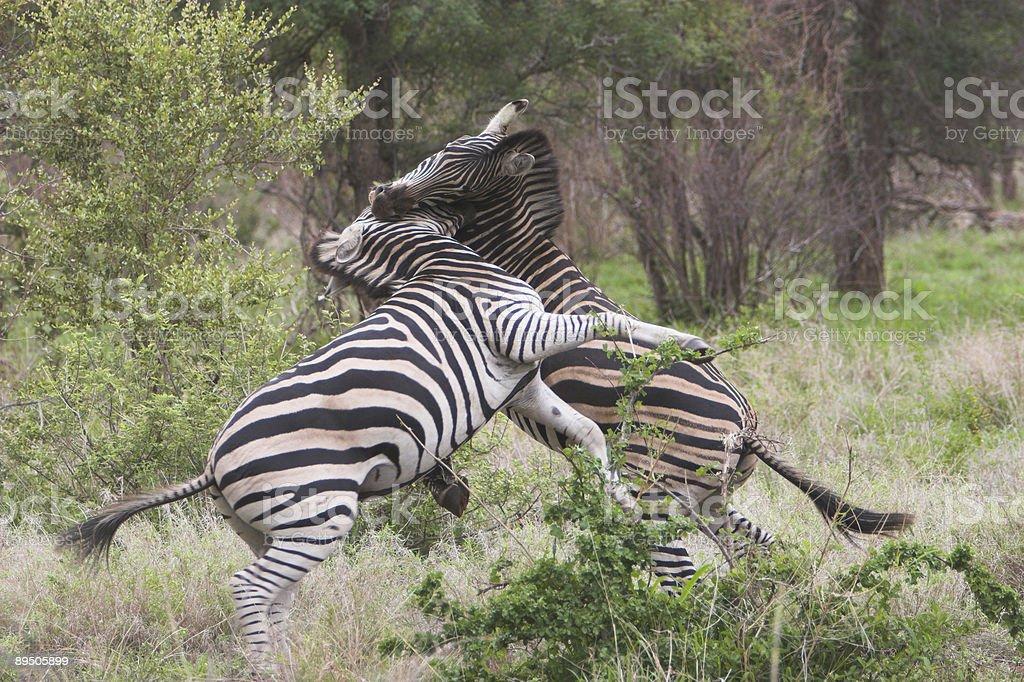 Zebra fight royalty-free stock photo