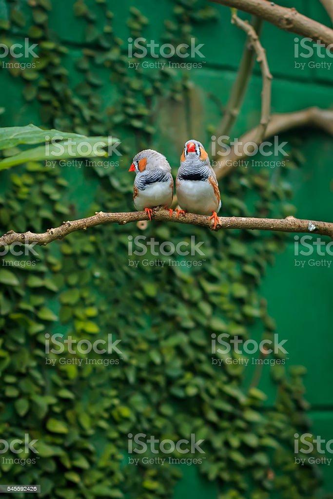 Zebra finch couple (Taeniopygia guttata) sitting on a branch stock photo