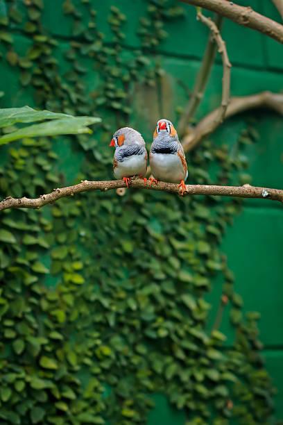 zebra finch couple (taeniopygia guttata) sitting on a branch - zebrafinken stock-fotos und bilder