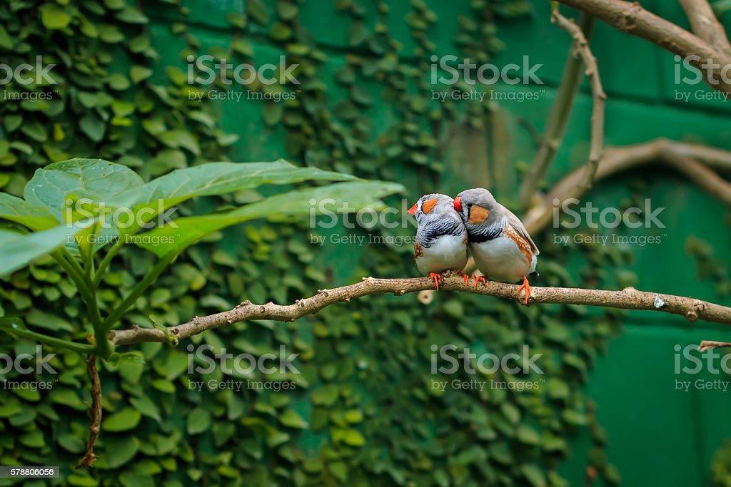 Zebra finch couple sitting on a branch stock photo