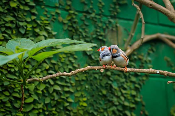 zebra finch couple sitting on a branch - zebrafinken stock-fotos und bilder