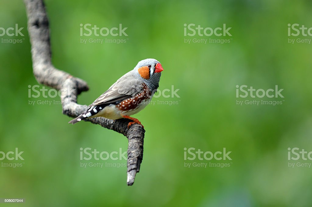 Zebra finch exotic bird sit on a tree branch stock photo