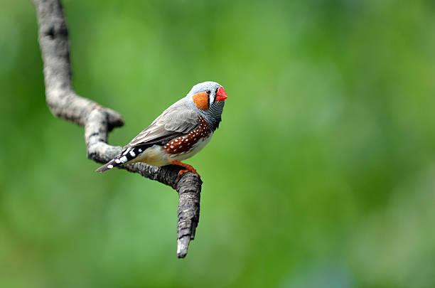 zebrafink exotische vögel sitzen auf einem baum branch - zebrafinken stock-fotos und bilder